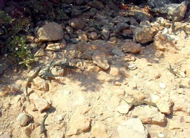Нехай тобі насниться Пальма де Майорка: А зараз там просто засилля драконоподобним ящірок, тому і острів так назвали. Мене це трохи напружувало, тому як не вітаю
