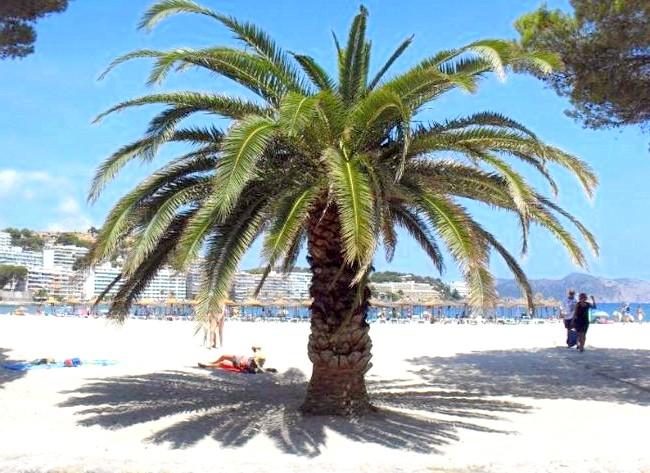 Нехай тобі насниться Пальма де Майорка: Можна було зіграти в тіні пальм і дерев.