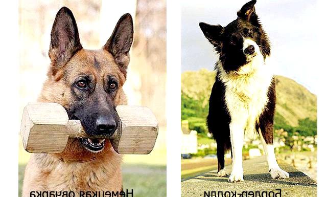 Рейтинг найрозумніших собак: Цікаве дослідження провели співробітники Американського клубу собаківництва (АКС). Вони порівняли безліч порід собак, щоб виявити самих-самих представників собачого