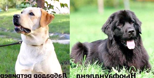 Рейтинг найрозумніших собак: В почесний рейтинг американських кінологів також потрапили лабрадор-ретривер - як кращі поводирі та найпопулярніші собаки серед сімей США, ньюфаундленди