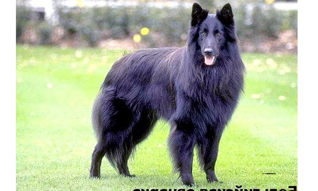 Рейтинг найрозумніших собак: А от у період бойових дій немає краще собаки, ніж бельгійська вівчарка, її оцінили за притаманні цій породі швидкість і