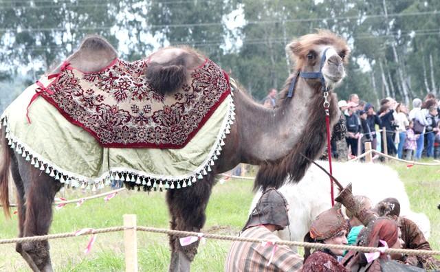 Росіяни перемогли в Молодінская Битві: Навіть у обозного верблюда святкове попонку.