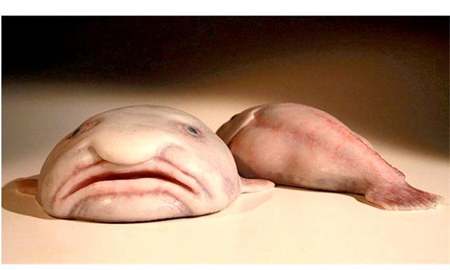 Риба-крапля - саме потворне тварина в світі: Лідера голосування оголосили на британському фестивалі науки в Ньюкаслі. Риба-крапля очолила цілий список так званих «неприємних» видів, які знаходяться на