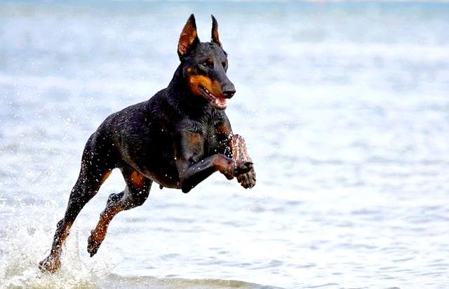 Сама агресивна собака: [i] 10. Доберман-пінчер [/ i] Доберман має незаслужено погану репутацію, але останнім часом цей негативний образ поступово тане через