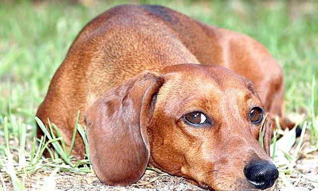 Сама агресивна собака: [i] 1. Такса [/ i] Сюрприз! Згідно з нещодавно проведеним дослідженням, ця невелика норна собака була визнана найбільш агресивної породою в