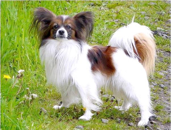 Сама агресивна собака: [i] 8. Папільон [/ i] Ця декоративна стильна собака насправді дуже сильно кусається! Папільон особливо агресивні по відношенню