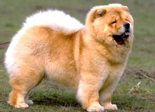 Сама агресивна собака: [i] 6. Чау-чау [/ i] Чау-чау виглядають привабливими і милими. Але це не зовсім так. Дорослий чау-чау не відноситься до