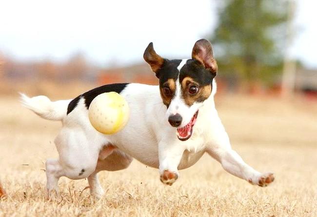 Сама агресивна собака: [i] 3. Джек-рассел-тер'єр [/ i] Маленькі породи свій невеликий розмір компенсують агресивністю. Третьою в списку найбільш агресивних собак у світі
