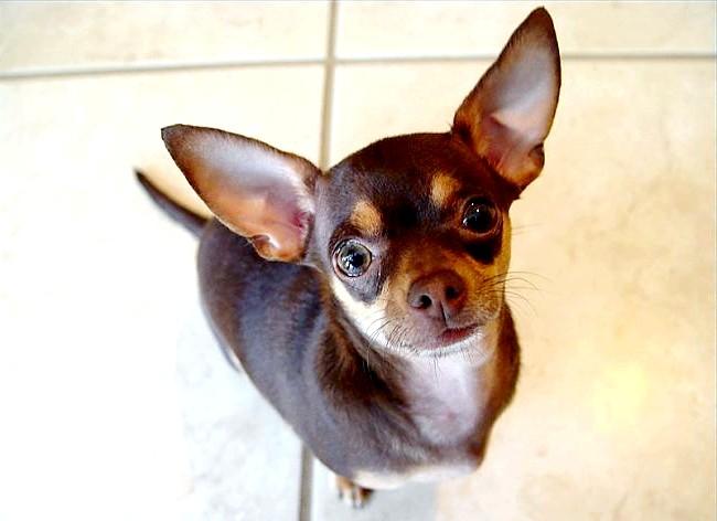 Сама агресивна собака: [i] 2. Чихуахуа [/ i] На другому місці знаходиться ще одна порода, яку навряд чи хтось може сприймати серйозно. Коли