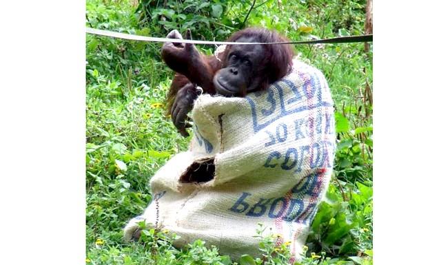 Самка орангутанга сама зробила собі