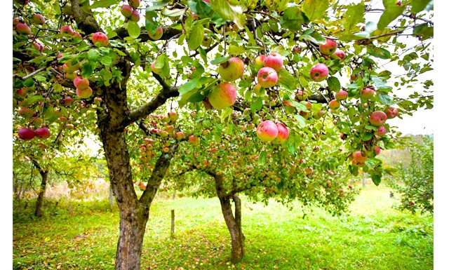 Шість основних причин хвороб плодових дерев