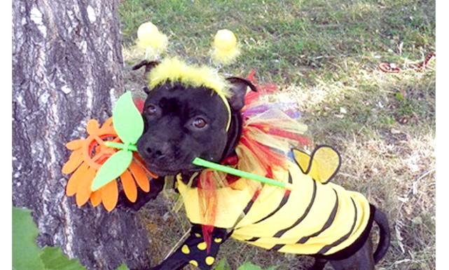 Собачий карнавал в Новосибірську: Головний приз - путівку в Тайланд отримала собака в костюмі дикої бджоли. Правда, господиня переможниці від подарунка відмовилася і передала