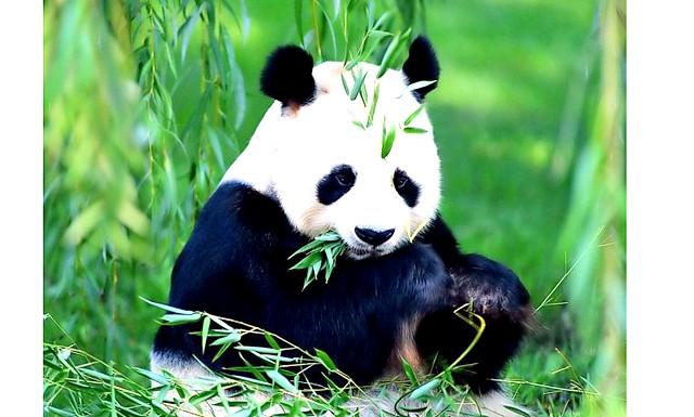 В Америці вперше народилися близнюки панди: Мамі двійнят 15 років. Стільки ж - татові. Його звуть Янг Янг. У них вже є троє малюків. Вони, як