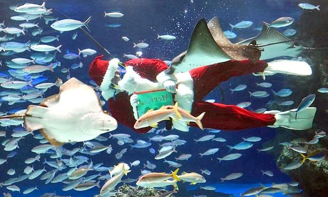 В Японії з'явився різдвяний акваріум: Співробітники океанаріуму, де він розташовується, помістили в нього зірку і годують рибок таким чином, щоб вони шикувалися у формі конуса.