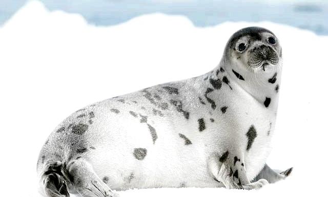 У норвезькій гаю знайшли тюленя: Норвежка припустила, що дитинча відбився від своїх батьків і опинився в пастці: він ніяк не міг повернутися в море, оскільки