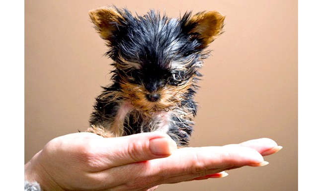 У Польщі з'явився найменший щеня: З'явився новий претендент на звання найменшої собаки у світі: піврічний тер'єр Мейсі зростанням 7 см і 12 см в
