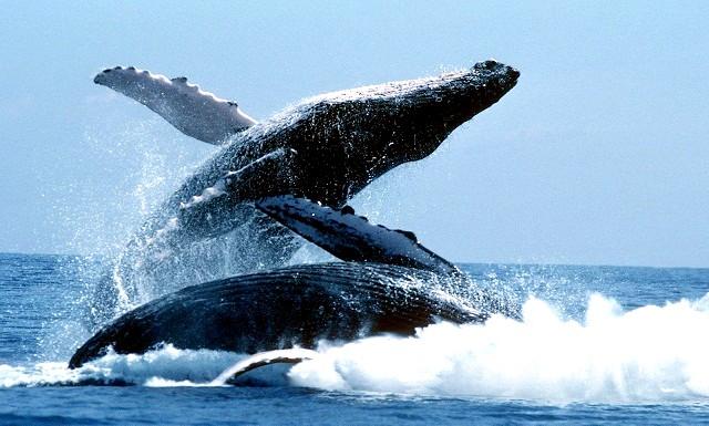 Всесвітній день захисту морських ссавців: Причому ця екологічна дата вважається днем   захисту не лише китів, але і всіх морських ссавців і різних інших живих істот,