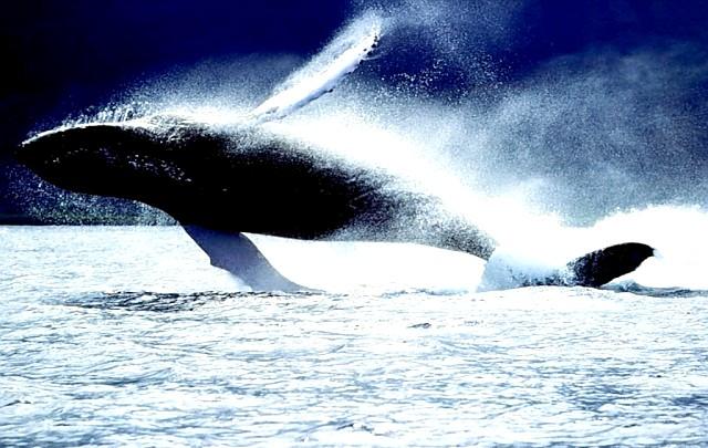 Всесвітній день захисту морських ссавців: Насамперед, День китів - це привернення уваги громадськості, представників влади і всього людства до питань захисту цього унікального виду