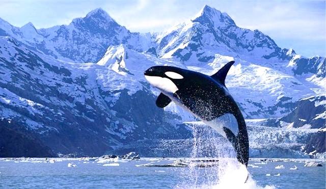 Всесвітній день захисту морських ссавців: Незважаючи на те, що мораторій на китовий промисел діє і понині і видобуток китів заборонена законами більшості країн, знищення цих