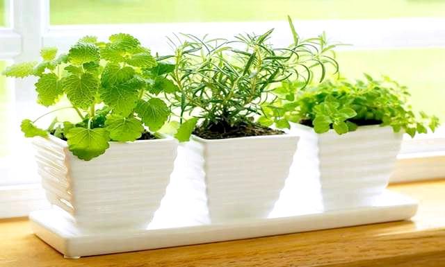 Вирощуємо зелень на підвіконні: Запорукою успішного вирощування овочів в горщиках в квартирі є: наявність сонця (хоча б на 3? 4 години на