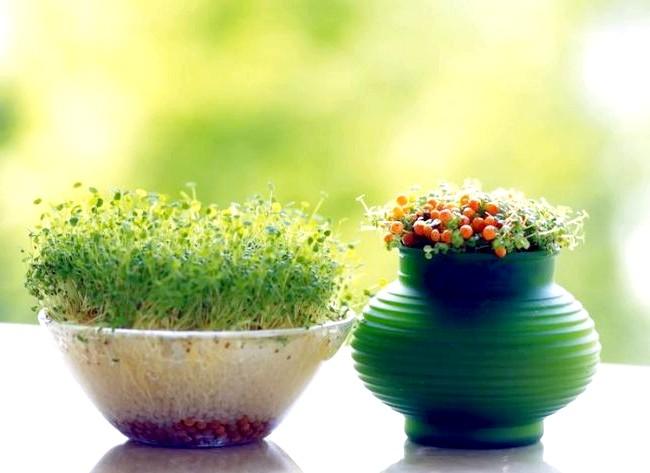 Вирощуємо зелень на підвіконні: - можна розмножити зелень живцями, в цьому випадку купують зелень в пучках, відрізають кілька пагонів, ставлять їх у