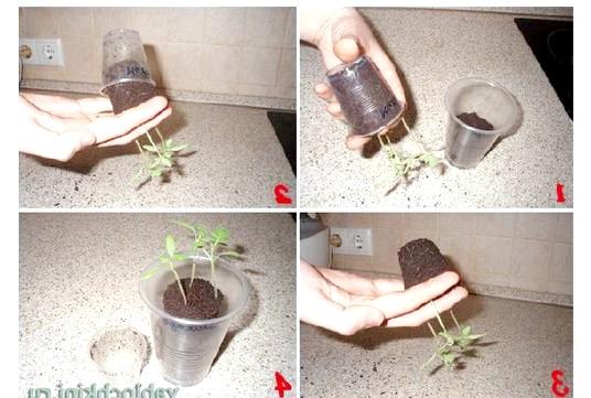 Вирощуємо зелень на підвіконні: Приблизно через 3? 4 тижні після сходів пересаджують (пікірують) маленькі сіянці у великі горщики. Беруть сіянець в маленькій тарі, перевертають його