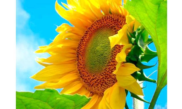 Вирощування соняшнику: Насіння соняшнику проростає вже при 6-8 ° С, але при цій температурі сходів чекати доведеться до 20 днів. Набагато краще проростає насіння