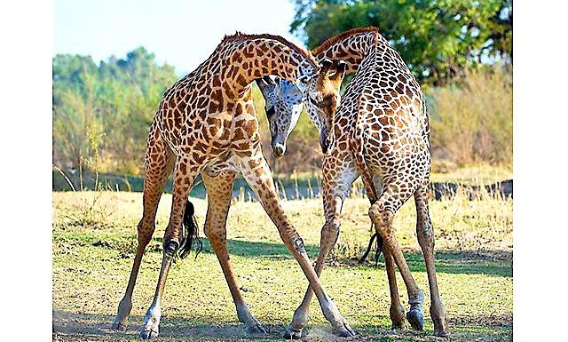 Жираф танго: «Я спостерігав за ними майже дві години, поки вони намагалися збити один одного з ніг« підсічками ».