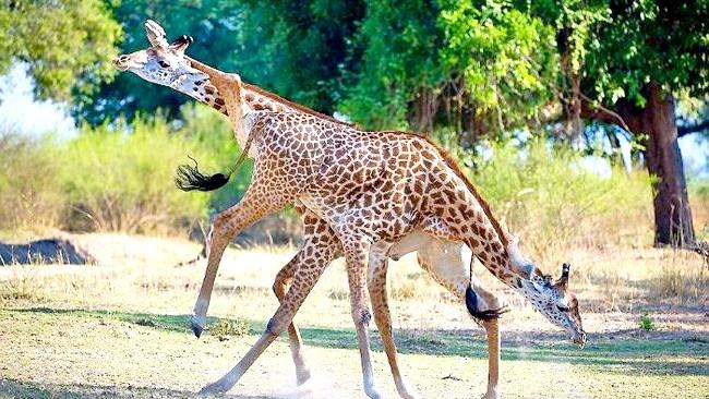 Жираф танго: «Через їх величезного розміру їх руху здавалися уповільненими, а їх синхронність створювала відчуття балету».