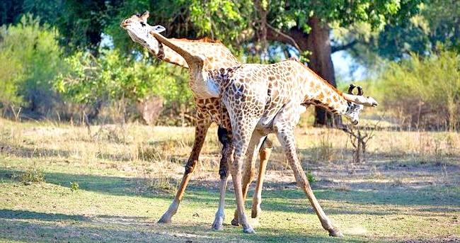 Жираф танго: «Врешті-решт, переможець пішов з самкою».