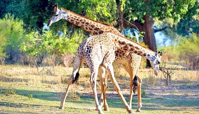 Жираф танго: 51-річний фотограф займається зйомкою тварин в регіонах Південної, Східної і Центральної Африки ось уже 25 років.