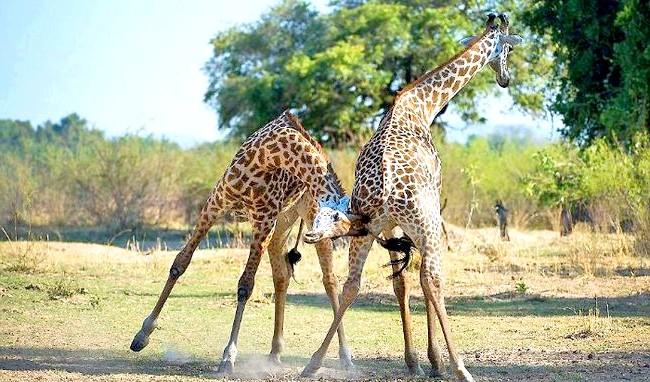 Жираф танго: «Ці жирафи були дуже близько від мене, але мені ніщо не загрожувало».