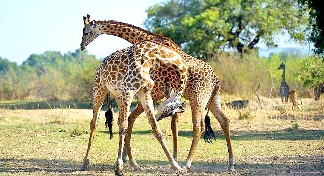 Жираф танго: Дивовижне прояв панування!