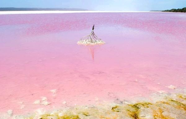 Чудеса природи: рожеві озера і пляжі: Водорості виробляють пігмент бета-каротин, коли рівень солі в озері перевищує навіть рівень в морській воді, і коли дотримані певні умови