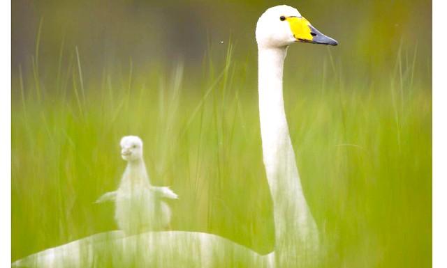 Елегантна птах лебідь-кликун