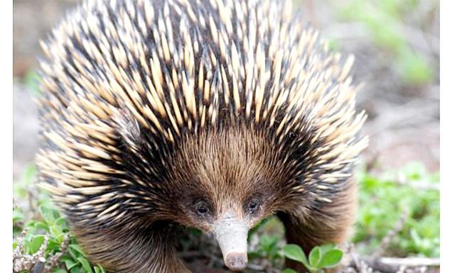 Померла остання проєхидна в Європі: Самець проєхидни по кличці Смол прожив у зоопарку 16 років, він помер від хронічної хвороби, якою саме не уточнюється. За