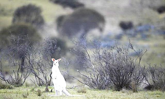 У дикій природі виявлений кенгуру-альбінос