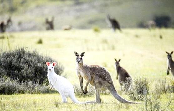 У дикій природі виявлений кенгуру-альбінос: Як відзначають очевидці, таке яскраве тварина хоч і відрізнялося від представників свого стада, проте по всій видимості не зазнавало в