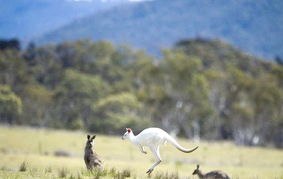 У дикій природі виявлений кенгуру-альбінос: Альбінізм - дуже рідкісне явище в природному середовищі існування, тому вони не збираються розкривати точне місце знаходження цієї самки-альбіноса, -