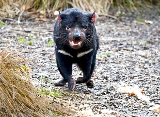 Тварини, чиє сексуальне життя здасться людині знайомої: 3. Тасманійський диявол практикують БДСМКонечно, є багато видів тварин, у яких самець під час спарювання заподіює