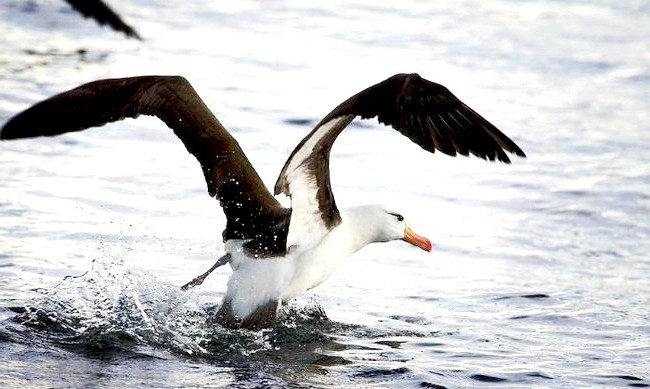Тварини, чиє сексуальне життя здасться людині знайомої: 4. Альбатроси роками «зустрічаються», перед тим як приступити до спаріваніюЛюді, як відомо, можуть зустрічатися з вподобаним